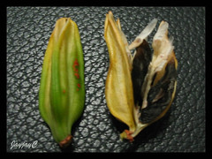 Seed pods of Agapanthus (African Lily, Lily of the Nile), captured July 15 2009