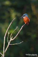 Kingfisher Alcedo atthis (Nigel Blake, 12 MILLION...Yay! Many thanks!) Tags: bird birds canon kingfisher blake nigel ornithology alcedo atthis eos1dsmkiii