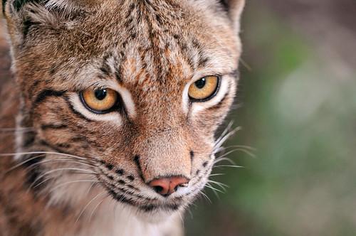 フリー画像| 動物写真| 哺乳類| ネコ科| 猫/ネコ| オオヤマネコ|      フリー素材|