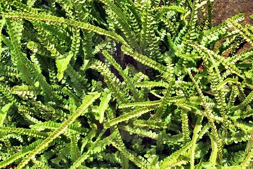 Nephrolepis cordifolia 'Duffii' (rq) - 02