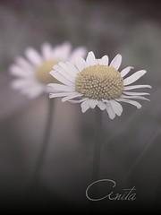 You are not alone (\*AnitA*/) Tags: summer flower macro fehr margarta ysplix fujifilmfinepixs5800 themonalisasmile