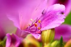 Alstroemeria (Astromelia) in macro (naruo0720) Tags: fab plant flower macro nature closeup nikon bokeh alstroemeria soe d300 naturesfinest astromelia ultimateshot flickrdiamond theunforgettablepictures