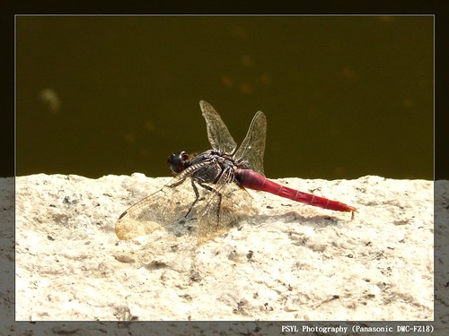 Red-bellied Skimmers (Orthetrum pruinosum neglectum) - 霜白蜻蜓