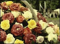 Thank you for more than 100.000 views (Kirsten M Lentoft) Tags: flowers roses insect denmark fly basket hillerød livinggarden betterthangood kirstenmlentoft redmatrix