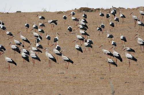 White Storks on migration