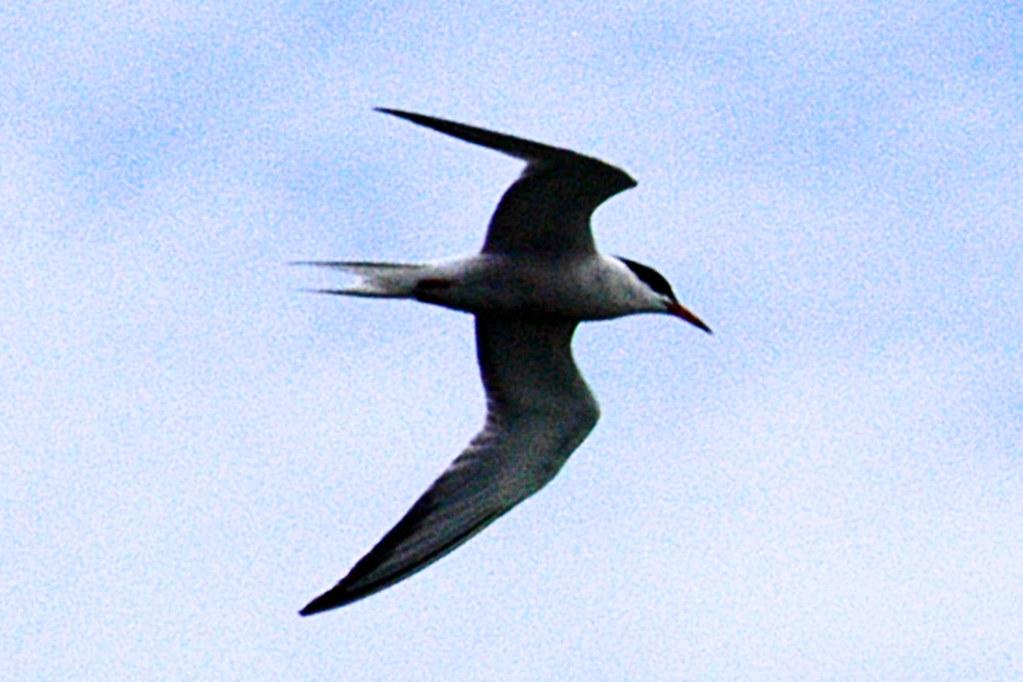 southbeach tern