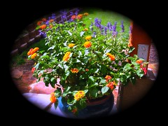 Lantana with Salvia (boisebluebird) Tags: flowers plants plant flower garden gardening landscaping boise flowerpot yardart landscapedesign michaeltoolson bosiegardens boisebluebirdcom httpwwwboisebluebirdcom boiselandscaping boisegardener