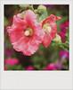 IMG_0537 (Maryaneee) Tags: old film polaroid savepolaroid