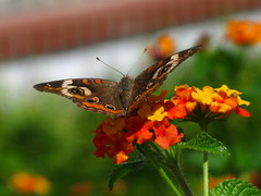 "IMG_9494 (Claire DeLand ~ ""GA Music Maker"") Tags: flower butterfly insect lantana favorited g9 buckeyebutterfly impressedbeauty roystonga vannaunitedmethodistchurch september32009"