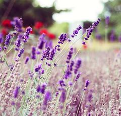 Lavendel (Frau Koriander) Tags: nikond80 lavendel lavandula lavender 60mm botanischergartenbremen flowers dof bokeh