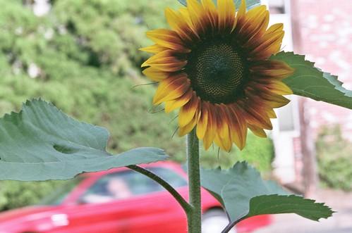 sunflower, july 20