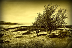 Two Trees (Dave Hilditch Photography) Tags: trees sepia landscapes searchthebest windy somerset moors soe exmoor moorlands wonderworld theworldwelivein tmba abigfave flickrdiamond dragondaggerphoto daarklands yourwonderland magicunicornverybest trolledproud tmbaexcellence smilingriverrat