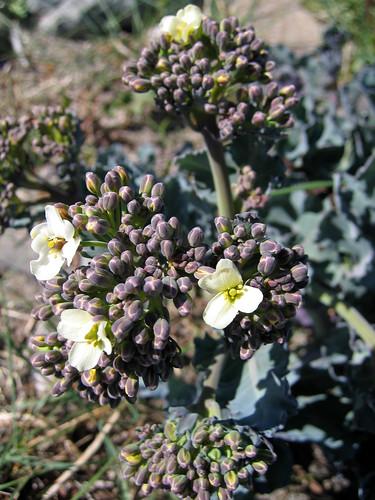Sea kale flowers