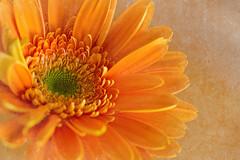 Orange (Lynne Dohner) Tags: flowers orange chicago texture spring card daisy lynnedohner