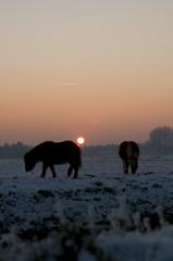 Winter in Nederland.... (bianca dijck) Tags: winter sun snow holland ice landscape sundown sneeuw nederland zon landschap ijs oosterhout winterlandschap littlehorses schetlandpony