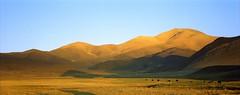 Here are our Yaks grazing (reurinkjan) Tags: 2002 yak nature nikon tibet everest dri tingri jomolangma tibetanlandscape lammala janreurink norrdzi བོད། བོད་ལྗོངས།