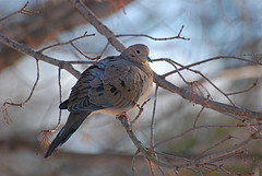 Mourning Dove (wplynn) Tags: winter bird birds mourning dove indianapolis indiana perch perched 2009 wildbirdsunlimited wbu