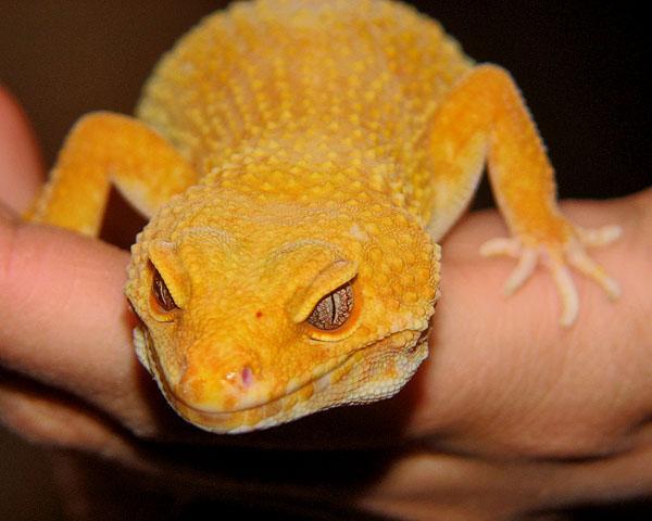 Gecko Line Tremper Sunglow