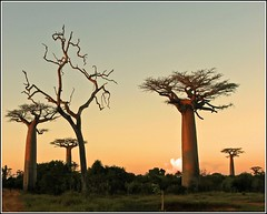 with the giants (Baobabs ) (Z Eduardo...) Tags: sunset wild tree nature island madagascar baobab morondava aplusphoto platinumheartaward betterthangood