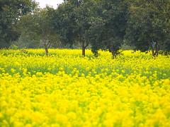 Colors (saad khan) Tags: trees pakistan color green yellow punjab lahore sarson