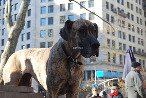 Brindle Great Dane. canined rindle great dane