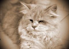 Bubu (Sepia) (Gilbert Rondilla) Tags: pictures camera cats slr animals sepia digital cat photography photo feline d70 blind philippines filipino dslr notmycamera own pinoy borrowedcamera notmyowncamera gilbertrondilla gilbertrondillaphotography luisianian