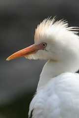 Cattle Egret (wildmanfla) Tags: florida davie cattleegret flamingogardens anawesomeshot vosplusbellesphotos