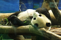 or Giant Panda (Henry Leong) Tags: zoo panda taipei