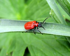 Lilly Beatle (Carcophan) Tags: macro insect beatle