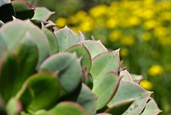 Bejeque (p.fabian) Tags: grancanaria spain aeonium bejeque äonium