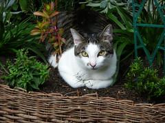 Comfort In The Backyard (End of Level Boss) Tags: 2009 foofoo cat moggy australia jannali garden   cath  mo  kedi   katt maka   pisic kot kucing kat mace   gat  koka kass pusa kissa chat gato katze    macska kttur  kais kat