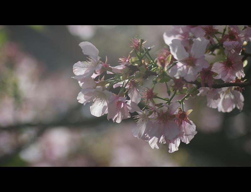 無極=櫻花祭