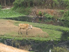Cow feeding near polluted water