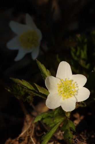 Anemone nemorosa - Bosanemoon, Wood Anemone