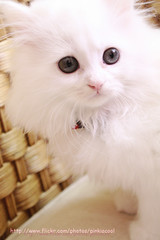 (D o 7 ε) Tags: pink blue baby white cute eye beautiful cat nose eyes small kitty cutes