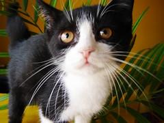 eu ronrono muito (sosgatinhos) Tags: love cat furry kitten feline gato felino neko lover shelter fofo filhote adoption gatinho adoo peludo adote abrigo animalwelfare catlover sosgatinhos