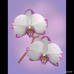 Orchids on Purple (Roger Isabell) Tags: flowers flower color art floral beauty le