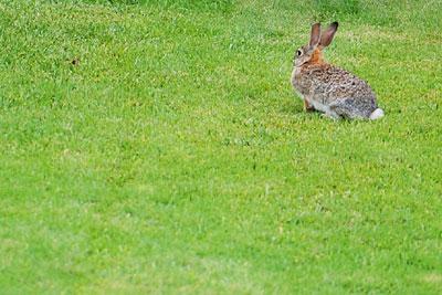 lawn rabbit