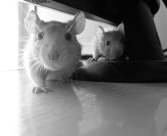 black and white (**tWo pInK pOSsuMs**) Tags: pets whiskers rats ratties fancyrats