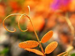 Naturally Unnatural (#749) (protophotogsl) Tags: orange flower color macro closeup dof purple bright telephonelines fabaceae wildflower cowvetch viciacracca invasive brightcolor fiatlux purplevetch birdvetch tuftedvetch bluevetch belltelephone goldenbow 야생화 theemeraldsociety naturesgallery mywinner anawesomeshot colorphotoaward flourescentorange flickraward platinumheartawards goldstarawardgoldmedalwinner colorphotoawardpremier devilsshoelace protophotogsl lizasenchantedgarden fluorescentbokeh naturescarousel naturestreasures5award beautifulshot5awardthread photographersgonewild5thread abigfave5awardthread arealgem5awardthread beautifulshot~610awardthread heartawards6awardthread photouniverse goldenphotouniverse nilbetterthangoodoldinvitationisinvalid nildiamomdawardinviationissubstandardandnotacknowledgedbygroup nilflickrcommunitygroupmustinviteallcontacts niltarheelawardsfallsoutsidesafesearchlimits spiritofphotography~8awardthread hiddentreasure~05starterthreaad spiritofphotography~59awardthread divinecaptures photographicwizards3awardthread supremeimages3awardthread freedomhawk3awardstarterthread platinumheartawardshalloffame10awards zodiactreasures hitmewithyourbestshot3awardthread brilliantphotography5awardthread unicornawards3awardthread flickraward5 goldstaraward5awardthread spiritofphotography~10awardthread citrit8awardthread colorphotoaward4awardthread flickrawardgallery flickraward5awardthread flickraward5awardnopeoplethread flickrawardgroup~level3thread flickraward~10awardthread