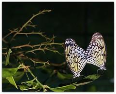 "And now (federico.soffici) Tags: butterfly cherryontopphotography photowinsaheart ""flickraward"" macrofacendo preferitedilife"