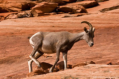 Rock Climber (James Marvin Phelps) Tags: park red southwest utah big rocks desert sheep cliffs national zion horn zionnationalpark bighornsheep mandj98 eastzion jmpphotography jamesmarvinphelps