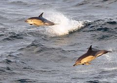 Common Dolphin (Delphinus delphis) (Ronan.McLaughlin) Tags: ocean blue ireland sea white bird nature water birds nikon marine wildlife kerry atlantic shore maritime commondolphin blasketisland d90 delphinusdelphis irishwildlife sigma150500