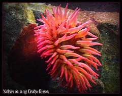Sea anemones2 (Nature-as-is) Tags: invertebrates smallanimals oceanimages seananemones