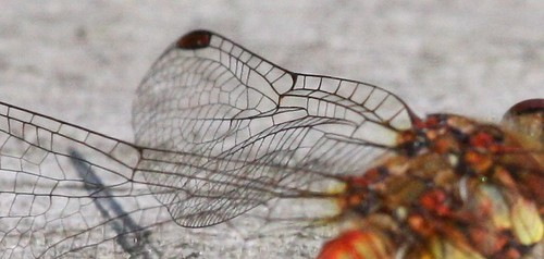 Dragonfly Pleated Wing Structure