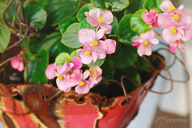 Begonias in planter