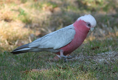 Galah (t!ge) Tags: bird wildlife australia qld queensland galah cacatuaroseicapilla lakecressbrook