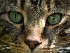Tabby Cat (Lynzi Lullaby) Tags: animals cat tabby kitty tabbycat