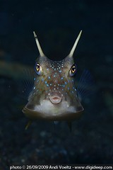 Longhorn Cowfish (Lactoria cornuta) with passenger on it's horn (Andi Voeltz) Tags: macro canon indonesia underwater scubadiving longhorn puffer northsulawesi andi fins manado dpg lembeh underwaterphotography cowfish underwaterphoto wetpixel longhorncowfish digideep lactoriacornuta lembehstrait bitung hugyfot bastianos voeltz lembehstreet andivoeltz