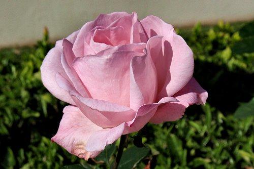 Rosa 'Royal Highness' (rq) - 01